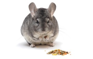 chinchilla-eating