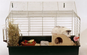 steimer-abyssinian-guinea-pig-in-cage